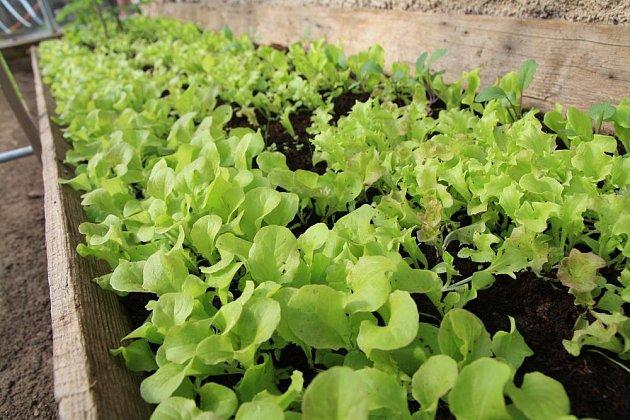 Mladé listy salátů lze sklízet již měsíc po výsevu