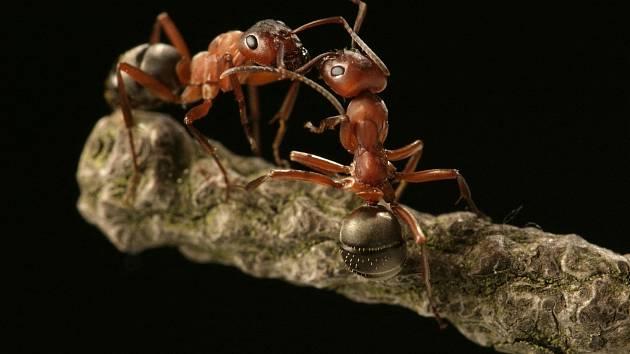 Zrzaví a další mravenci jsou pro přírodu sice i užiteční, ale všeho moc škodí.