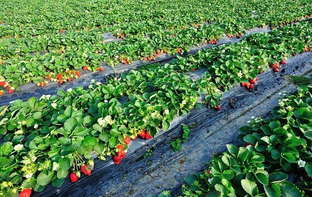 Jahody jsou vynikající plodinou, jelikož můžete sklízet dvakrát ročně. I sázet.