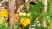 Přirozenou ochranou rajčat je vysázení aksamitníku