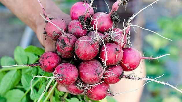 Ředkvičky, první jarní zelenina