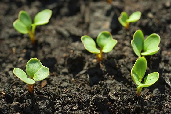 Semenáčky ředkviček rostou rychle