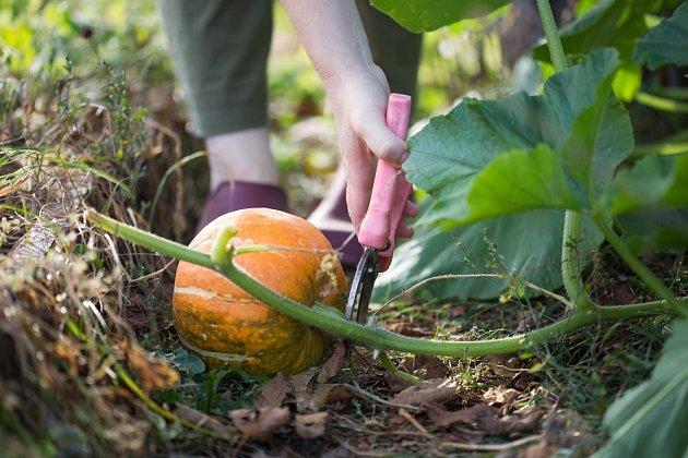 Správná sklizeň a uskladnění významně prodlouží životnost této tykvovité zeleniny.