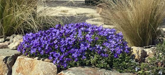 tařička zahradní (Aubrieta hybrida)