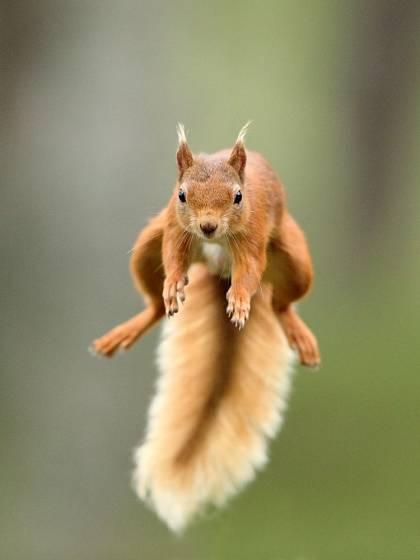 Veverka je neustále v pohybu, na zemi, na stromech i ve vzduchu