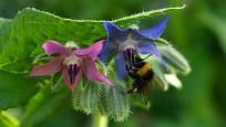 Kvetoucí brutnák potěší i čmeláky
