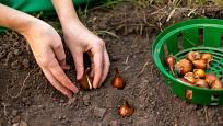 Cibuloviny lze sázet až do doby, než půda zamrzne. Příliš brzkou sadbou jim můžeme i ublížit.