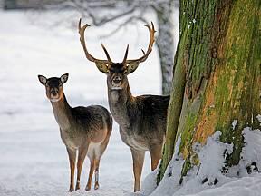 jeleni v zimě