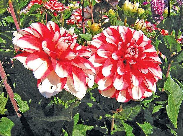 Pompomkovité odrůdy jiřinek mají unikátní tvar květů