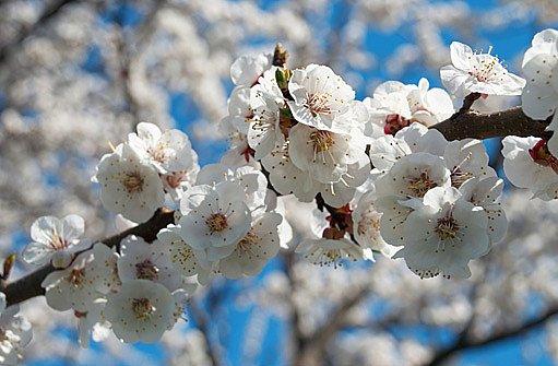 měruňka v květu