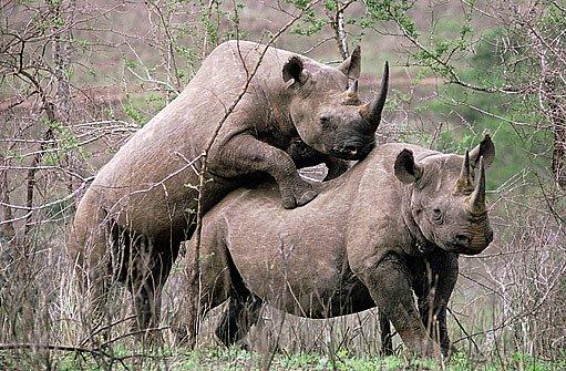 páření nosorožců