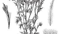 pcháč rolní čili oset (Cirsium arvense)