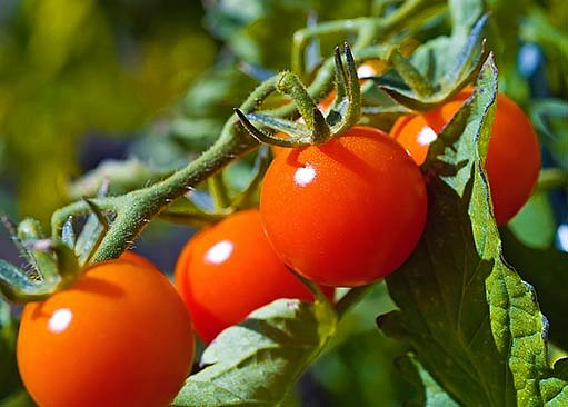 i z rajčat můžeme připravit domácí víno