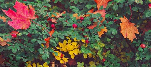 Některé růže kvetou až do zimy, jiné zdobí šípky