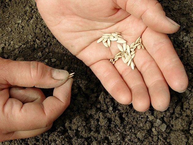 Semena okurek jsou velká, pracuje se s nimi snadno
