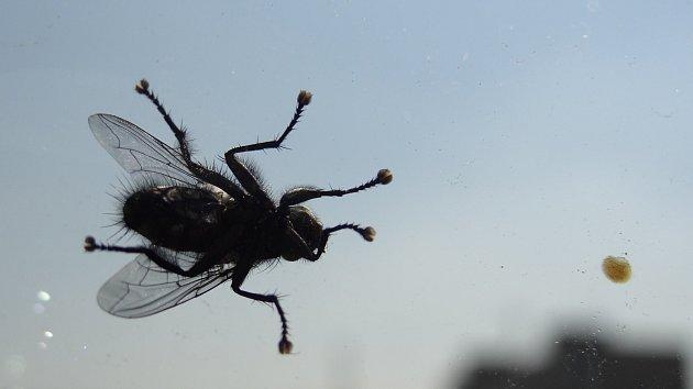Mouchy jsou věčnými znečišťovateli oken, zrcadel i stěn.