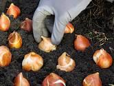 Při výsadbě tulipánů dbáme na správnou orientaci cibulí.