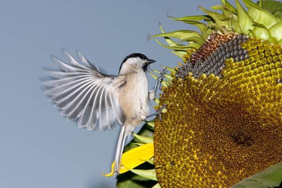 Sýkorky si pochutnávají na právě dozrávajících semenech