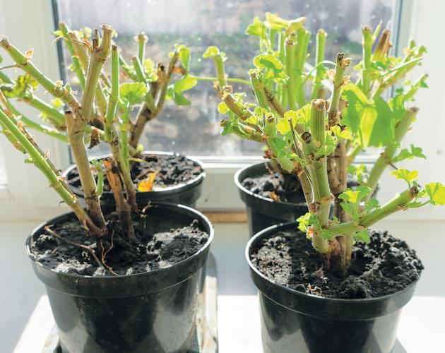 Nejoblíbenější balkonové rostliny pelargonie