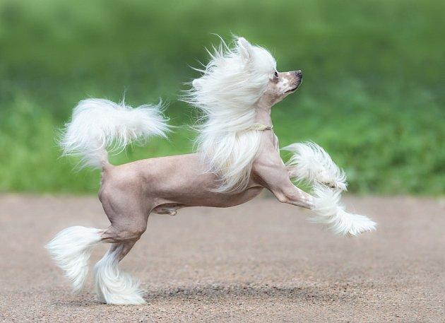 Čínský chocholatý pes.