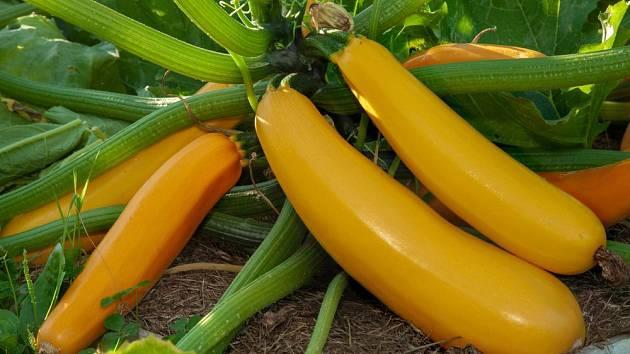 Odrůdy cuket ze žlutými plody jsou atraktivní na záhoně i na talíři