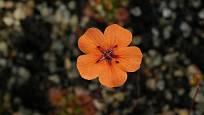Květ rosnatky Drosera platystigma