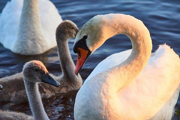 labuť s odrůstajícími mláďaty