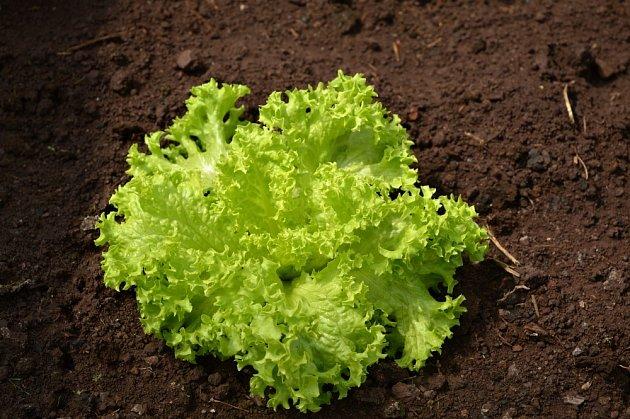 Ledový salát je nejlepší pro polní pěstování.