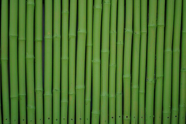 Bambusů existuje přes 1500 druhů. Bohužel, toto není ten, který se hodí na živý plot.