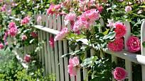 Půvabné a voňavé růže mohou zkrášlit i plot
