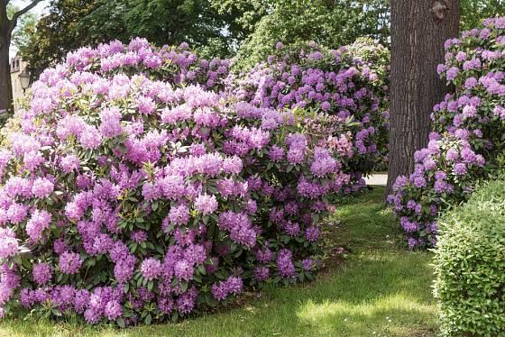 Vzrostlé rododednrony jsou dominantou zahrad i parků