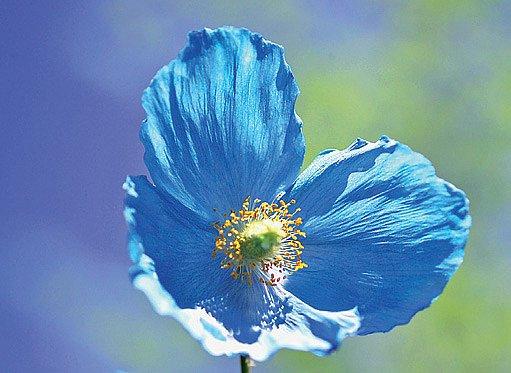 Ledově modré velkokvěté mákovce nikdo nepřehlédne. Daří se jim ve stínu.