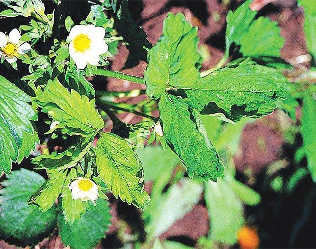 Postižené listy i plody jahodníku