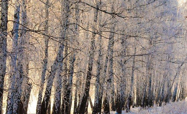 Větrolam slouží i v zimě, březový roste velmi rychle