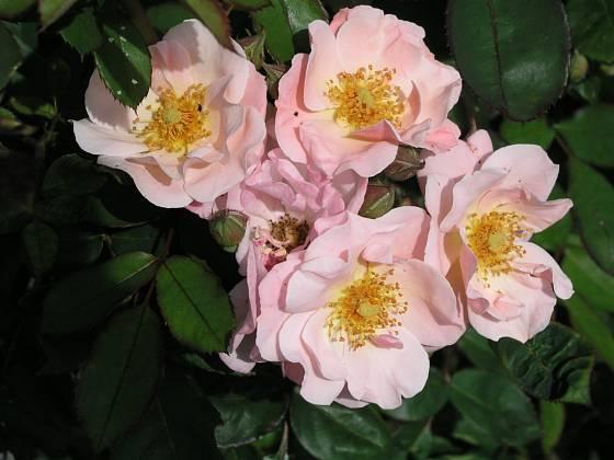 Clair Matin (Meilland, Francie, 1960). Květ je světle růžový s oranžovým nádechem, velký asi 8 cm; výška růže 3 m. Opakovaně kvetoucí