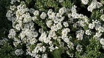 Hebe buchananii kvete množstvím bílých květů.