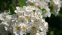 Hloh obecný kvete bílými květy.