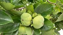 Nezralé plody kaki na stromě.
