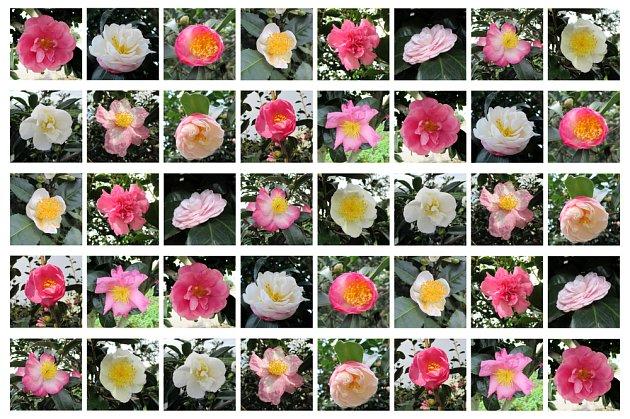 Kamélií je na 250 druhů.