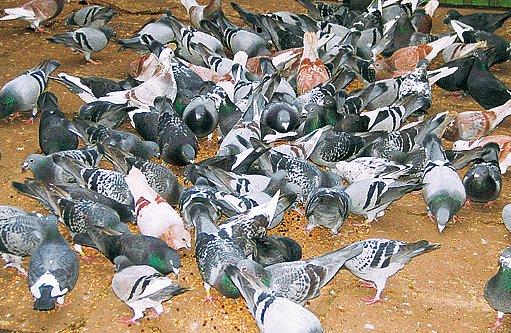 Poštovní holubi se mohou vyskytovat ve všech barvách a kresbách známých u holubích plemen