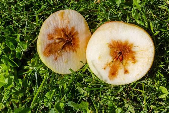 Jablko napadené moniliózou je nepoužitelné.