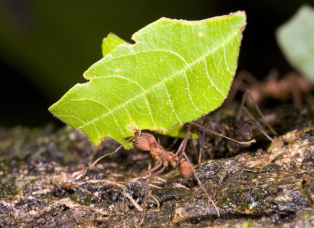 Mravenci Atta, takzvaní střihači listů