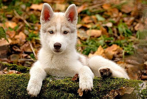 lesní pes