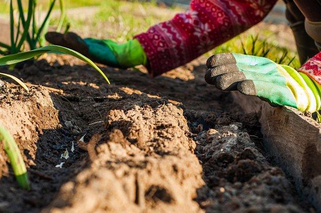 Česnek je vysazován do řádků, a stejně tak může být aplikováno i hnojivo, přidané do konve při zalévání