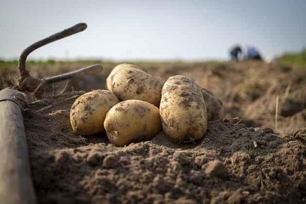Brambor patří mezi nejvýznamnější zemědělské plodiny pro lidstvo
