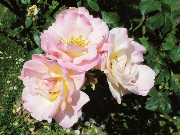 Většina jarních růží patří mezi sadové neboli sadovky
