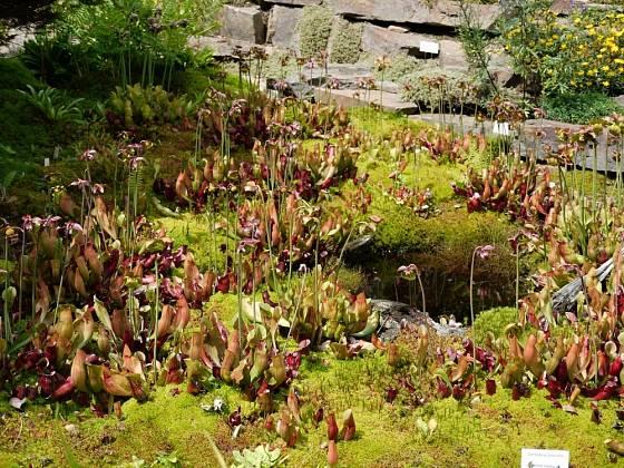Sarracenia purpurea ve venkovní kultivaci Botanické zahrady Liberec