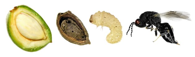 tmavka mandloňová (Eurytoma amygdali)