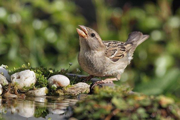 Na břehu jezírka se rádi napojí i vrabci