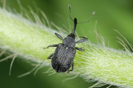 Květopas jahodnikový (Anthonomus rubi).